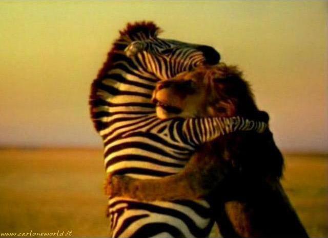 amicizia leone zebra