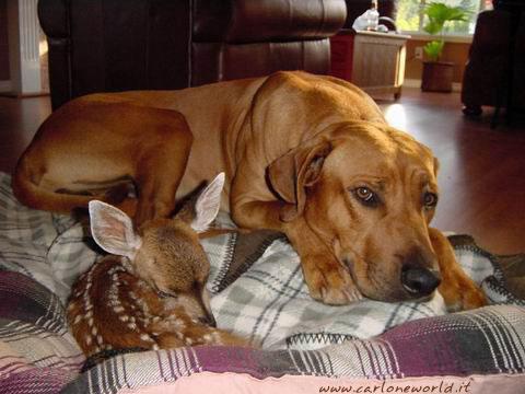 cerbiatto e cane insieme