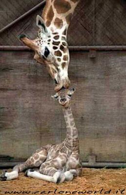 giraffa mamma e cucciolo