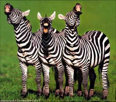 zebre simpatiche