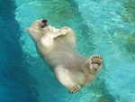 orso in piscina